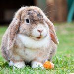 كيف تربي الأرانب في المنزل