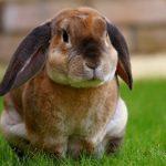 كيف يمكن تربية الأرانب