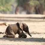 كيف يموت الفيل