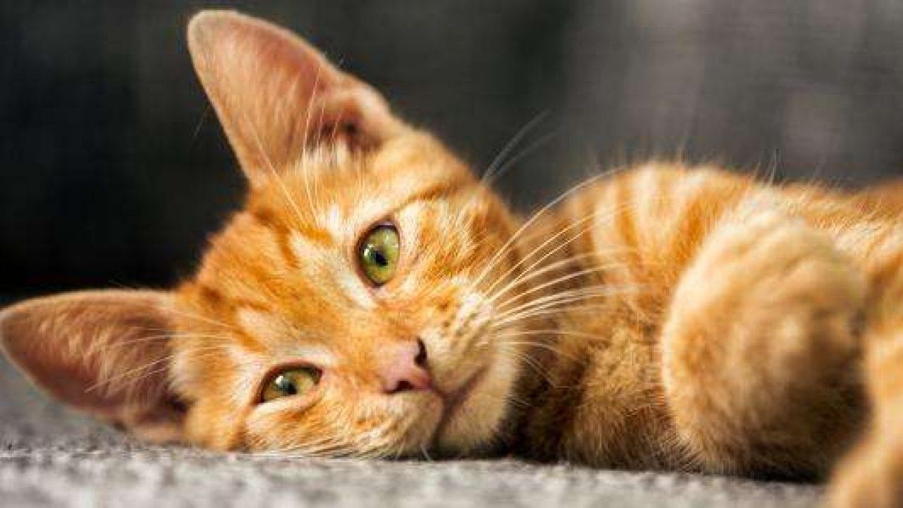 هل شراء القطط حرام