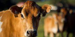 شروط الأضحية في البقر