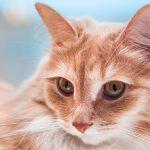 هل القطط تسبب تساقط الشعر